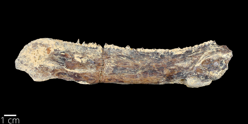 <i> Ichthyodectes ctenodon </i> from the Late Cretaceous Niobrara Fm. of Ellis County, Kansas (YPM VP 007226).