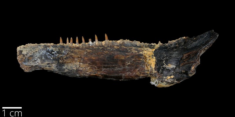 <i> Ichthyodectes ctenodon </i> from the Late Cretaceous Niobrara Fm. of Ellis County, Kansas (YPM VP 007227).