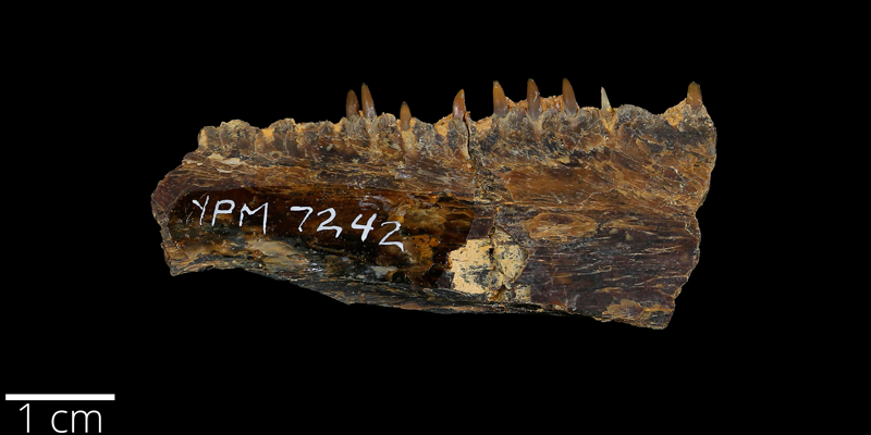 <i> Ichthyodectes ctenodon </i> from the Late Cretaceous Niobrara Fm. of Ellis County, Kansas (YPM VP 007242).