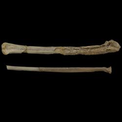 Ichthyornithidae