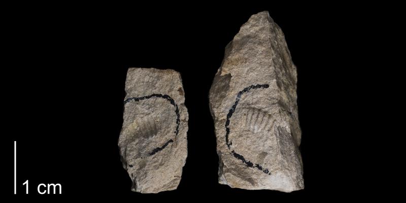 <i> Kanabiceras kanabense </i> from the Greenhorn Fm. of Russell County, Kansas (FHSMIP 1676).
