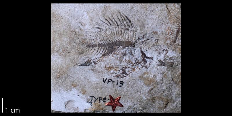 <i> Kansius sternbergi </i> from the Santonian Niobrara Fm. of Gove County, Kansas (FHSMVP 19).