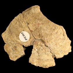 Lopha kansasensis