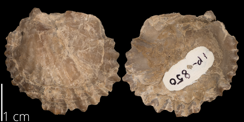 <i> Lopha lugubris </i> from the Late Cretaceous Carlile Fm. of Osborne County, Kansas (FHSMIP 850).