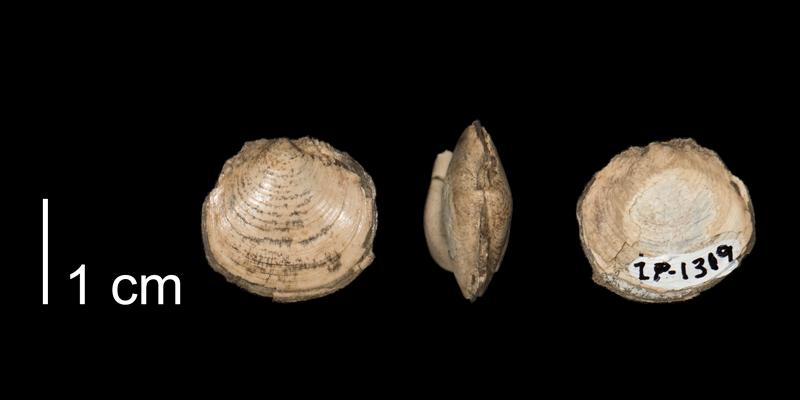 <i> Lucina occidentalis </i> (FHSMIP 1319).