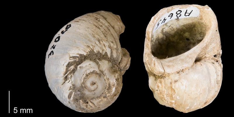 <i> Euspira obliquata </i> from the Late Cretaceous Pierre Shale Fm. of Fergus County, Montana (YPM 32020).