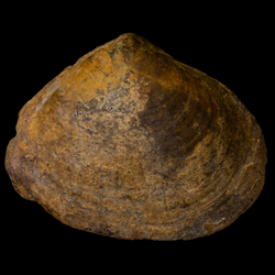 Mactra nitidula