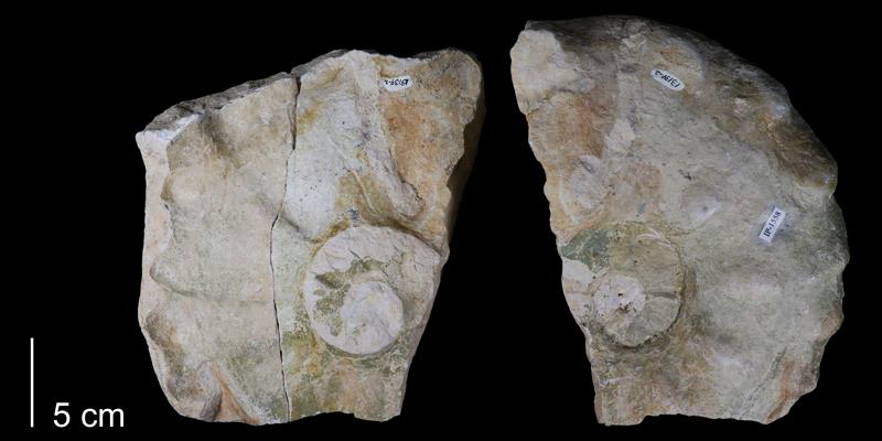 <i> Mammites nodosoides </i> (FHSMIP 1558).