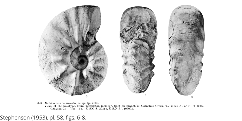 <i> Metoicoceras crassicostae </i> from the Cenomanian Woodbine Fm. of Texas (Stephenson 1953).