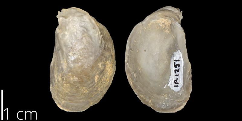 <i> Nanostrea fluctigera </i> (FHSMIP 1251).