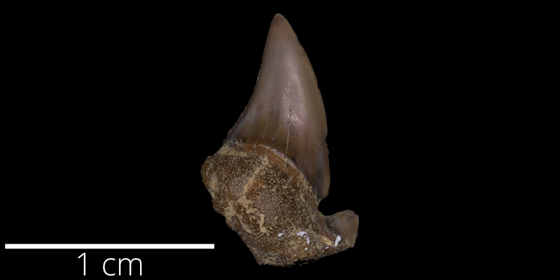 <i> Odontaspis sublatata </i> from the Late Cretaceous of Kansas (FHSMVP 12848).