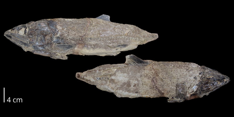 <i> Pachyrhizodus minimus </i> from the Late Cretaceous (FHSMVP 2282).