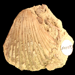 Pecten occidentalis