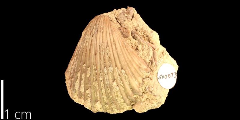 <i> Pecten occidentalis </i> from the Albian Kiowa Fm. of Kiowa County, Kansas (KUMIP 500073).