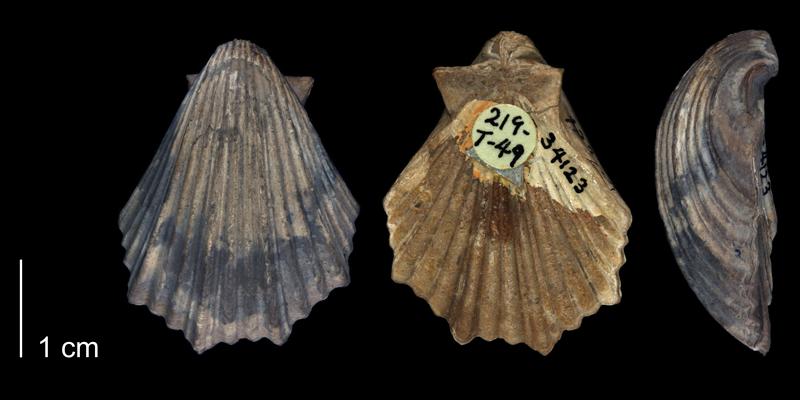<i> Pecten irregularis </i> of Tarrant County, Texas (BEG 34123).