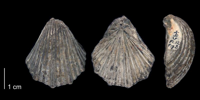 <i> Pecten subalpina </i> of Texas (BEG 34116).