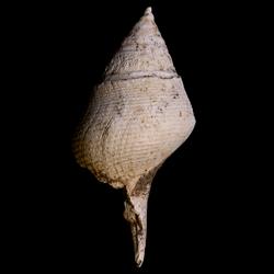 Piestochilus