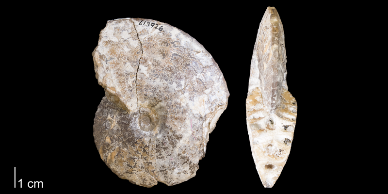 <i> Placenticeras intercalare </i> from the Pierre Shale Fm. of South Dakota (YPM 613926).