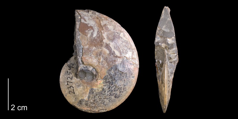 <i> Placenticeras placenta </i> from the Campanian Pierre Shale Fm. of Pennington County, South Dakota (YPM 237254).