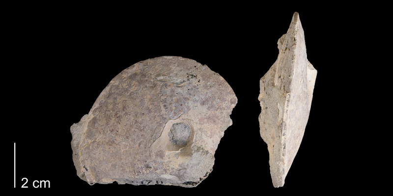 <i> Placenticeras planum </i> from the Late Cretaceous Telegraph Creek Fm. of Carbon County, Montana (YPM 34711).