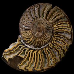 Placenticeratidae