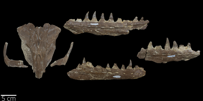 <i> Platecarpus tympaniticus </i> from the Late Cretaceous (FHSMVP 15533).