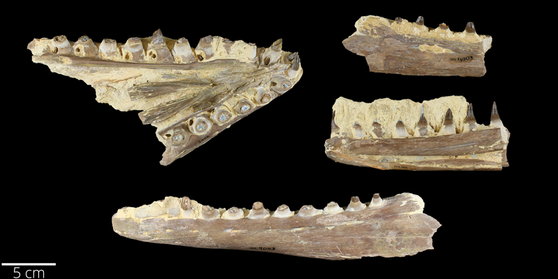 <i> Platecarpus tympaniticus </i> from the Late Cretaceous Niobrara Fm. of Wallace County, Kansas (YPM VP 004003).