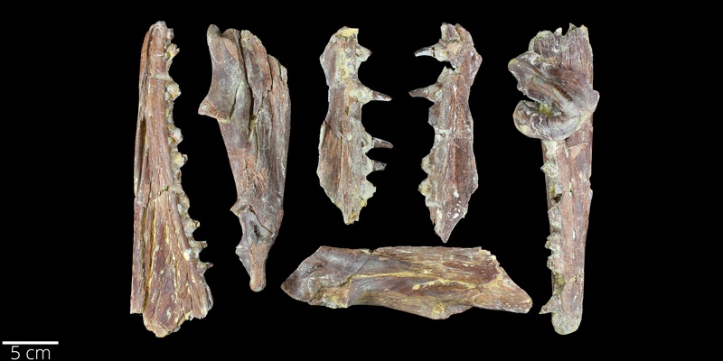 <i> Platecarpus tympaniticus </i> from the Late Cretaceous Niobrara Fm. of Gove County, Kansas (YPM VP 024900).