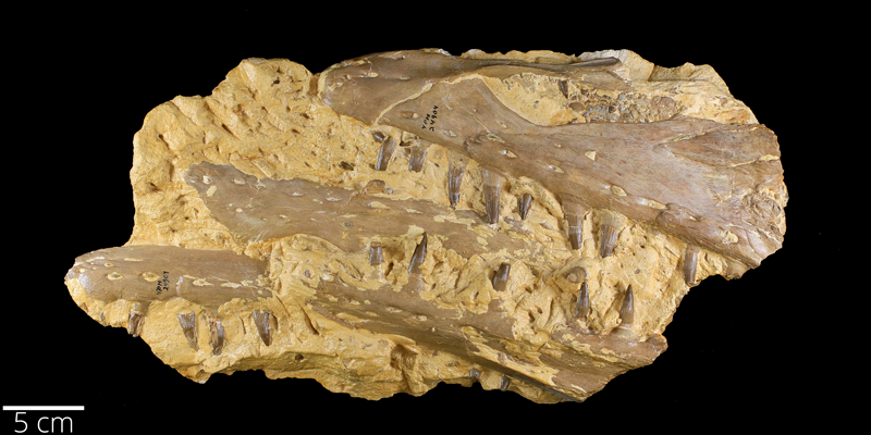 <i> Platecarpus tympaniticus </i> from the Late Cretaceous Niobrara Fm. of Wallace County, Kansas (YPM VP 024904).