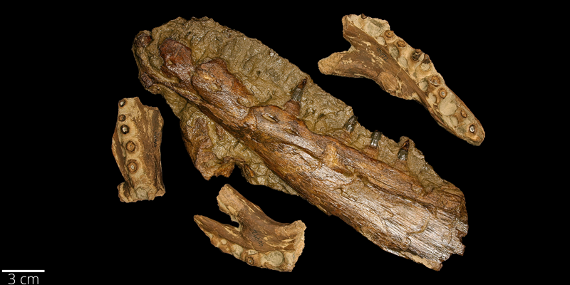 <i> Platecarpus tympaniticus </i> from the Late Cretaceous Niobrara Fm. of Graham County, Kansas (YPM VP 040472).