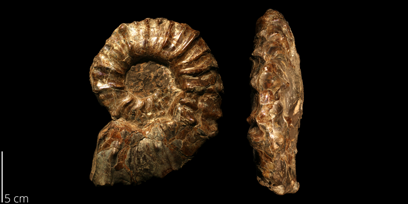 <i> Prionocyclus hyatti </i> from the Turonian Carlile Shale Fm. of Smith County, Kansas (KUMIP 143746).
