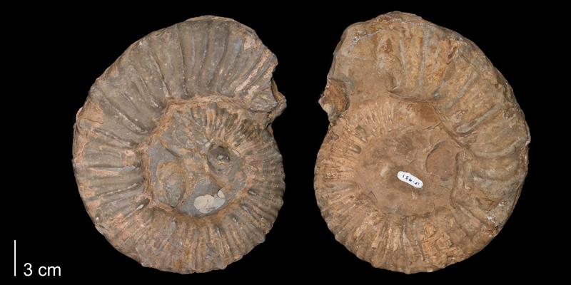 <i> Prionocyclus wyomingensis </i> Carlile Fm. (FHSM 951).