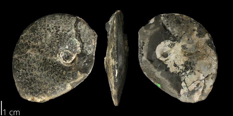 <i> Placenticeras pseudoplacenta </i> (KUMIP 58911).