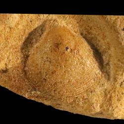 Protocardia texana