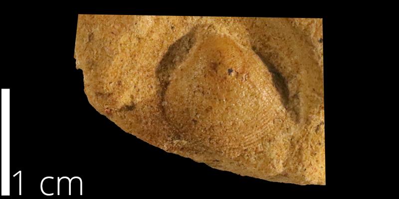 <i> Protocardia texana </i> from the Albian Kiowa Fm. of Clark County, Kansas (KUMIP 500208).