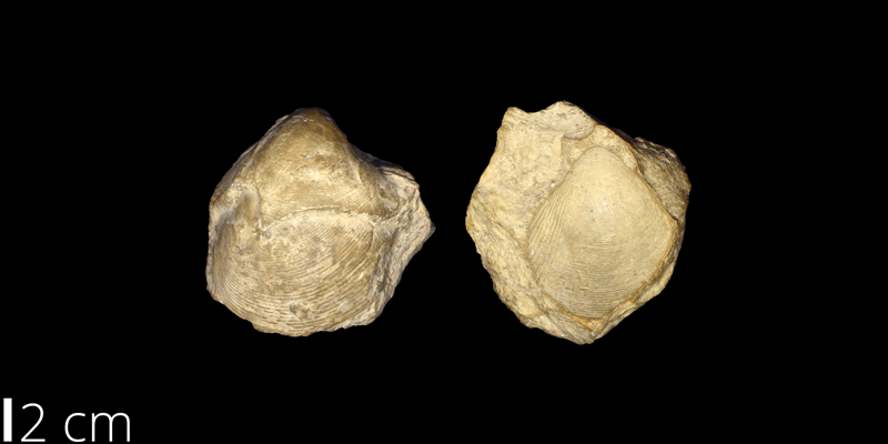 <i> Protocardia texana </i> from the Cretaceous of Culberson County, Texas (UNM 903).