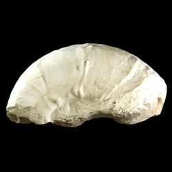 Pseudaspidoceras flexuosum