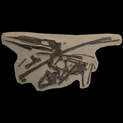 Pteranodontidae