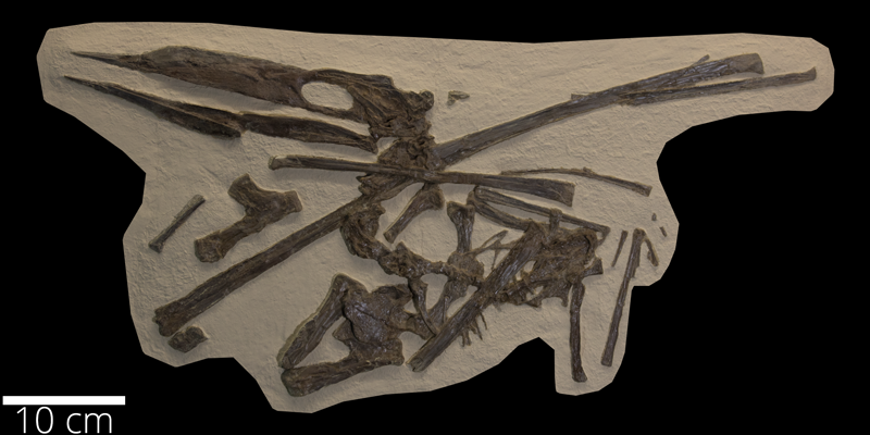 <i> Pteranodon bonneri </i> from the Late Cretaceous (FHSMVP 2148).