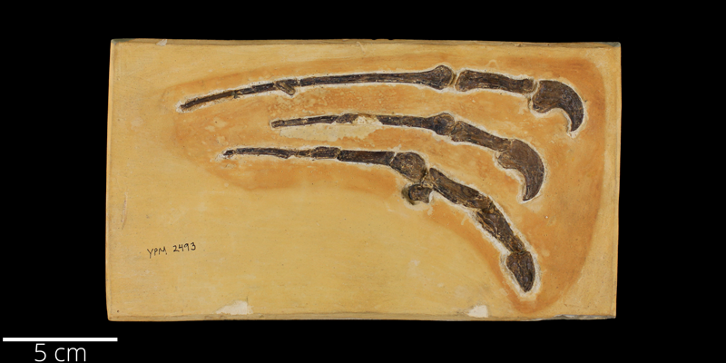 <i> Pteranodon sternbergi </i> from the Late Cretaceous Niobrara Fm. of Trego County, Kansas (YPM VP 002493).