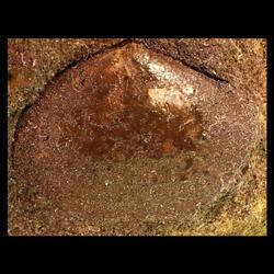 Pteria salinensis