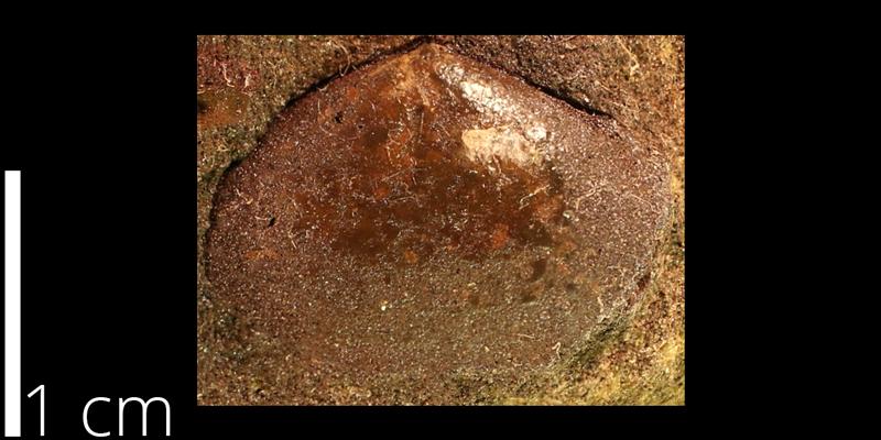 <i> Pteria salinensis </i> from the Albian Kiowa Fm. of Saline County, Kansas (KUMIP 500072).