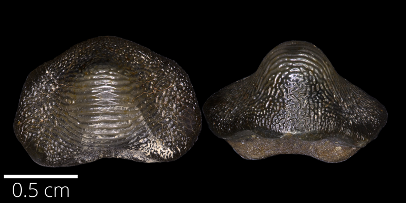 <i> Ptychodus anonymous </i> from the Turonian Carlile Fm. of Ellis County, Kansas (FHSMVP 13324).