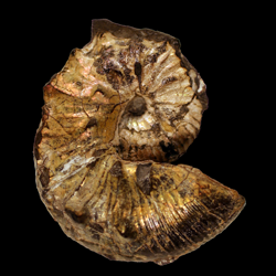 Scaphites kansiensis