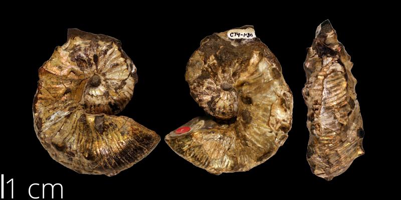 Holotype of <i> Scaphites kansiensis </i> (KUMIP 108770).