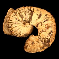 Scaphites arcadiensis