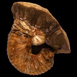 Scaphites mitchellensis