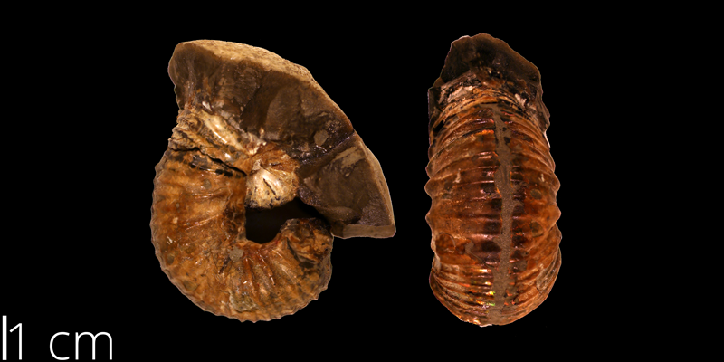 <i> Scaphites mitchellensis </i> from the Turonian Carlile Shale Fm. of Mitchell County, Kansas (KUMIP 108783).