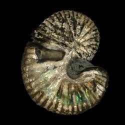 Scaphites carlilensis
