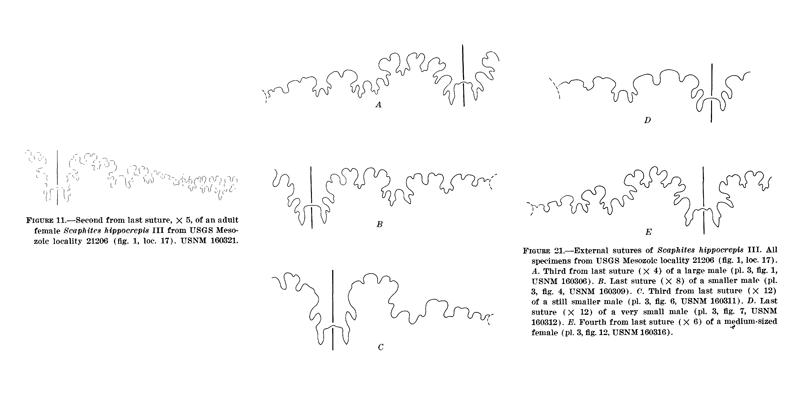<i> Scaphites hippocrepis </i> from Cobban 1969.